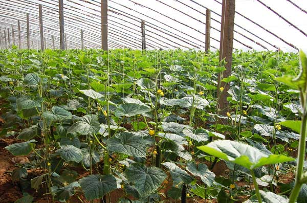 壁纸 成片种植 风景 植物 种植基地 桌面 600_397
