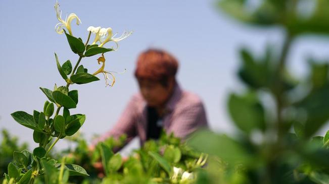 河北清河:金銀花種植助增收