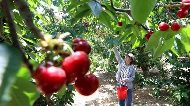 河北讚皇:櫻桃豐産 農戶增收