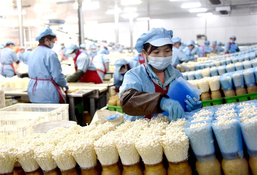 河北臨西:小菌菇托起大産業