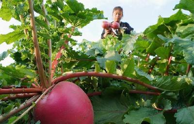 特色農業促農增收