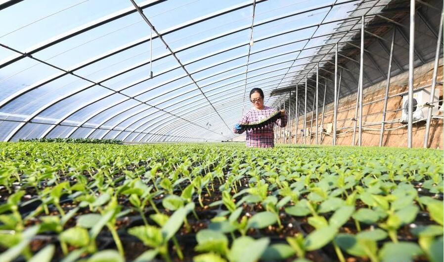 河北樂亭:初冬時節育苗忙