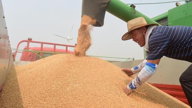 河北黃驊:旱鹼麥迎豐收