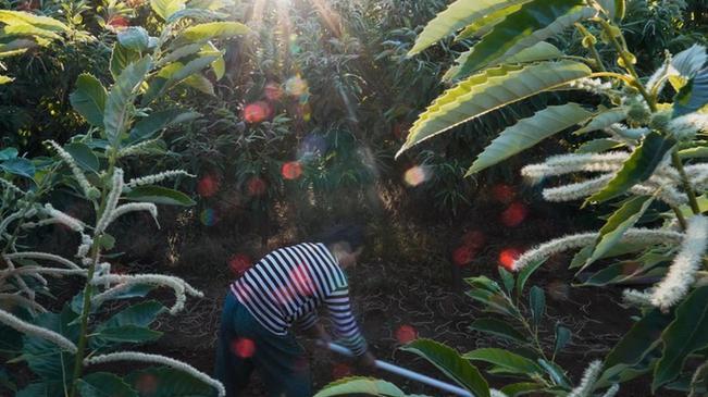 河北遵化:發展板栗林下經濟助增收