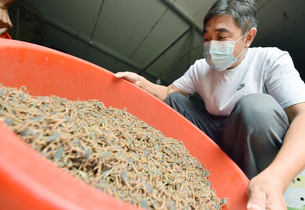 全蝎養殖助農增收