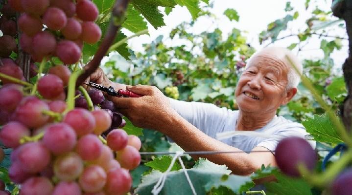 河北望都:瓜果喜豐收 果農笑開顏