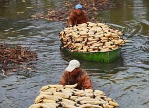河北廊坊:濕地鮮藕飄香