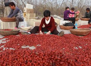 河北滄州紅棗喜豐收
